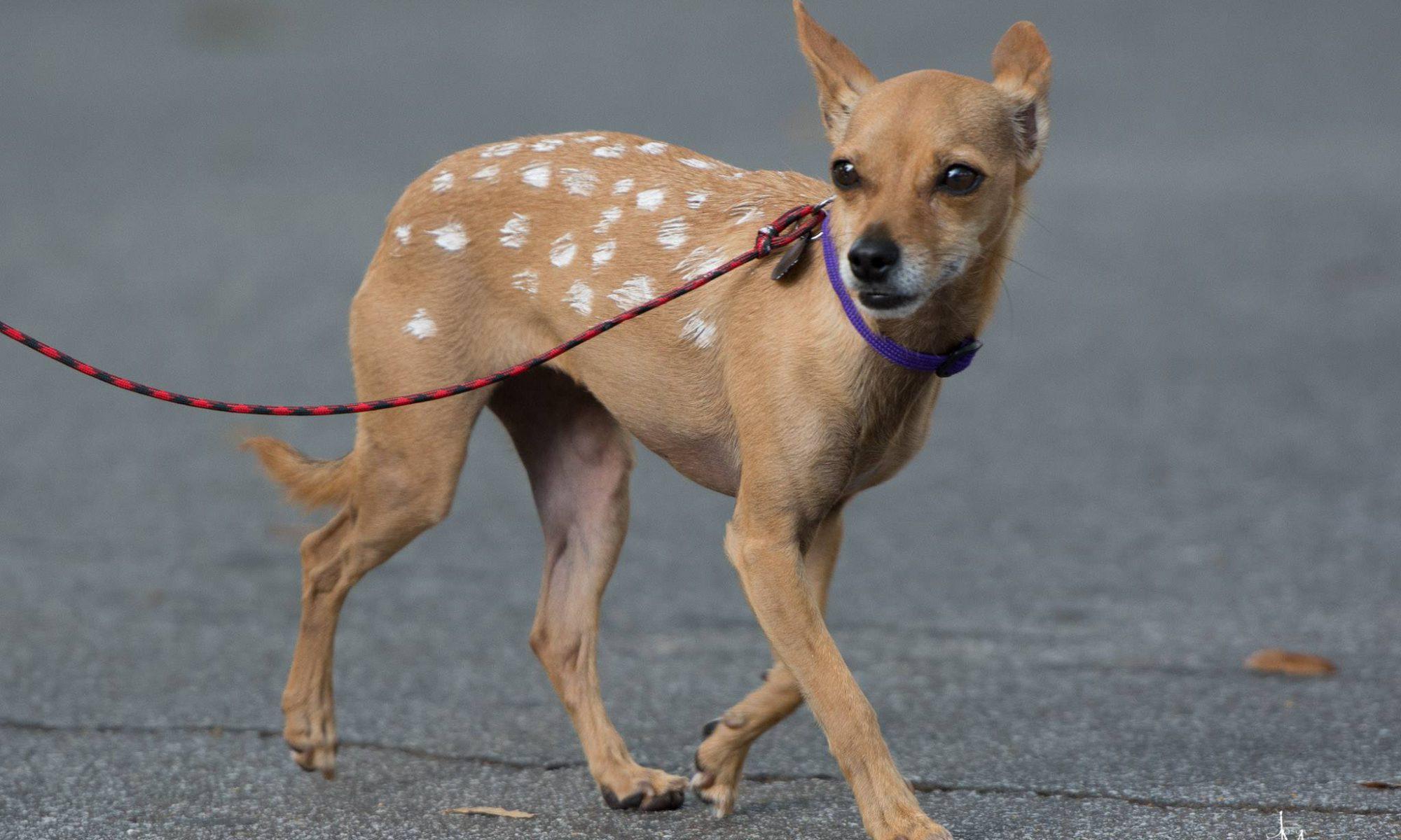 small dog painted like faun